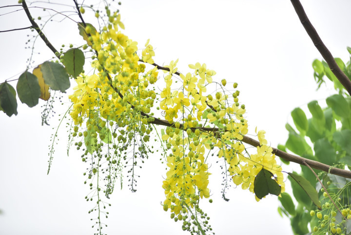 Golden shower trees in Hanoi mark arrival of summer