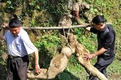 Tình cờ đào được rễ cây hình người, bán hơn trăm triệu tưởng lãi, hóa ra vẫn lỗ