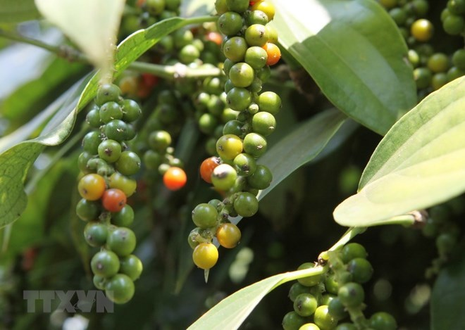 Peppercorn exports: volume up, value down