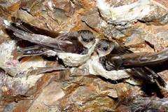 Phát triển bền vững nghề nuôi chim yến cách nào?