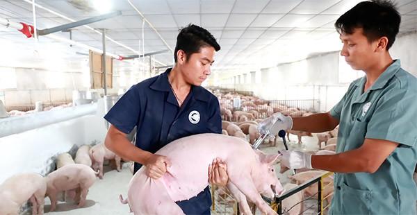 'Ám ảnh 'bệnh lợn gạo' là do phản ứng dây chuyền'