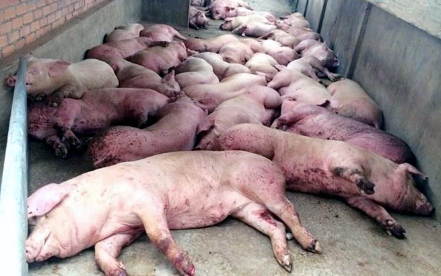 dịch tả lợn châu Phi,dịch tả lợn,chăn nuôi lợn,tiêu hủy lợn,ngành chăn nuôi,nuôi lợn