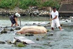 Xác lợn chết thả trôi sông: Trách nhiệm chủ tịch tỉnh, công an vào cuộc