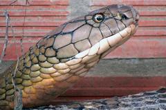 Bắt được cặp rắn hổ khổng lồ ở miền Tây