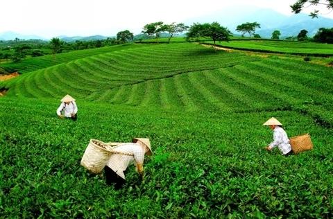 Vietnam's tea industry needs to focus on quality