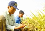 National rice brand available, but still cannot be used