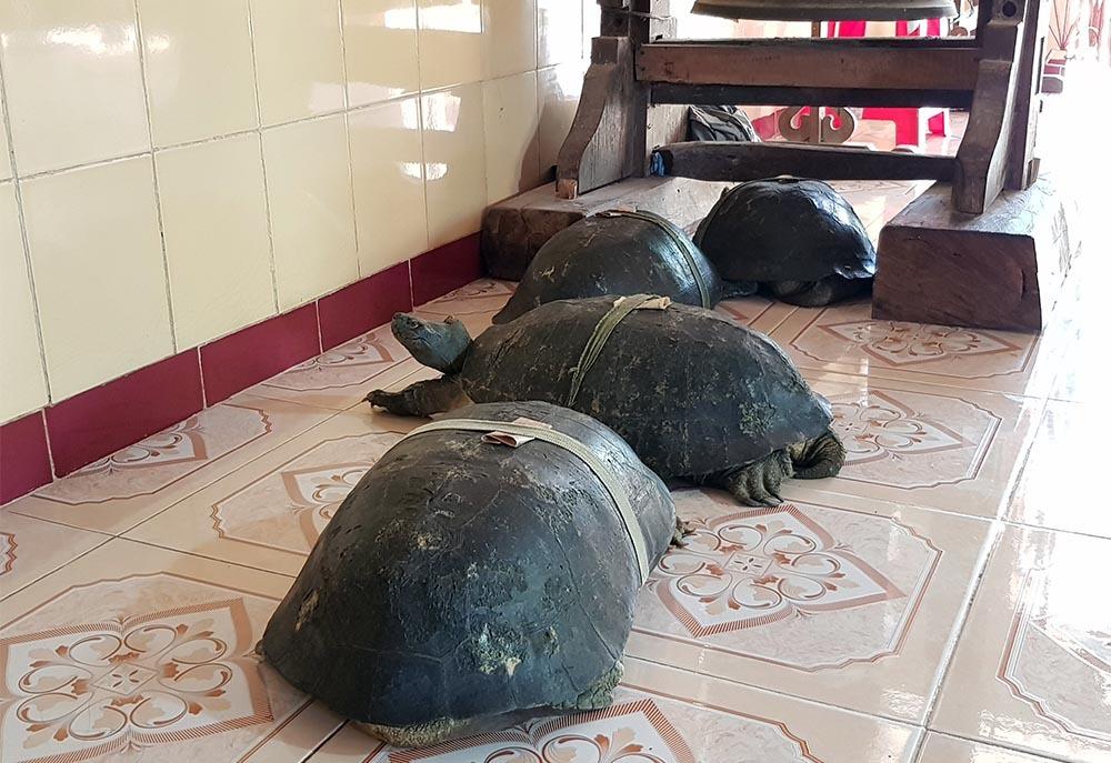 Cụ rùa 100 tuổi ăn chay, nghe kinh Phật trong chùa ở miền Tây