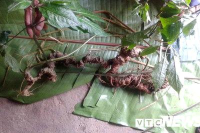 Xuất hiện cặp sâm Ngọc Linh khổng lồ trị giá tiền tỷ ở Việt Nam