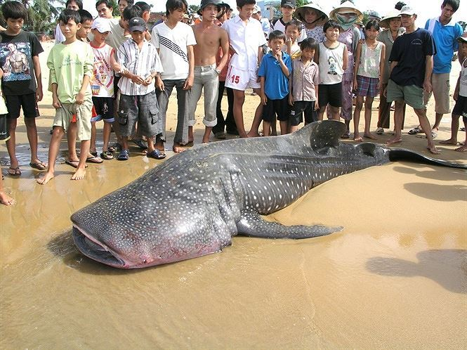 Investigation to be launched into rare fish slaughtering for sale in Thanh Hoa
