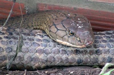Hai con rắn hổ khủng ở miền Tây sẽ được xử lý thế nào?