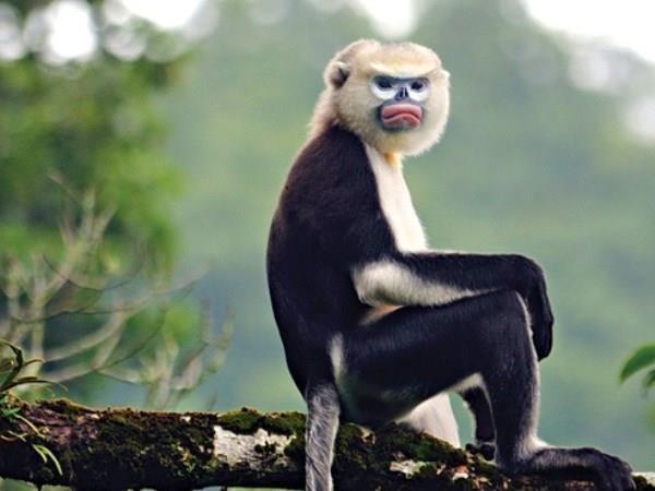 Ha Giang makes progress in Tonkin snub-nosed monkey conservation
