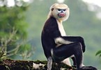 Quang Nam works to improve endangered langurs' habitat