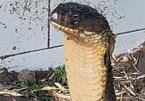 Tình tiết bất ngờ về cặp rắn hổ khủng bắt được ở miền Tây
