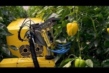 Robot biết nhận diện quả chín và thu hoạch ớt trong môi trường nhà kính