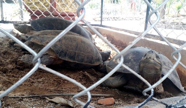 Rare turtles found at Quang Nam coffee shop
