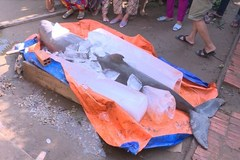 Endangered dolphin caught in Ben Tre