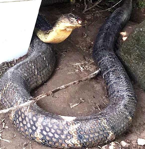 rắn hổ mây,rắn khổng lồ,rắn khủng