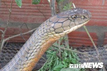 Những chuyện kinh dị về loài rắn khổng lồ bí ẩn ở núi Cấm