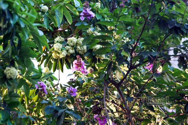 Bất thường hoa sữa nở rộ, thơm nức mũi giữa hè nóng rực đất Hà thành