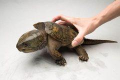 Loopholes found in licensing for raising big-headed turtles