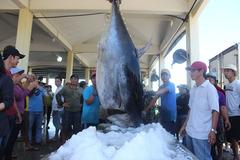 Phú Yên: Ngư dân bắt được cá ngừ vây xanh gần 400kg