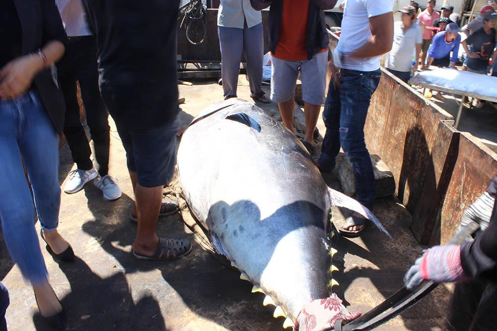 cá ngừ đại dương,cá ngừ,Phú Yên