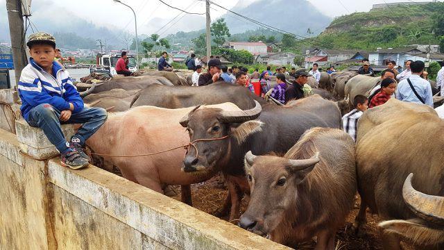 North-west's famous buffalo market