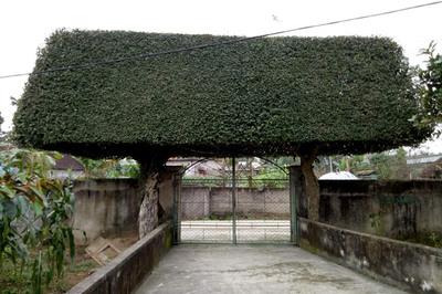 Người đàn ông Nghệ An biến 2 cây duối bỏ đi thành 'cổng nhà' giá hơn nửa tỷ