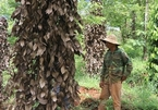 Vietnamese pepper farmers hit by massive losses