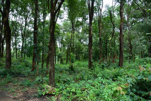 Villagers protect sandalwood forest in Gia Lai