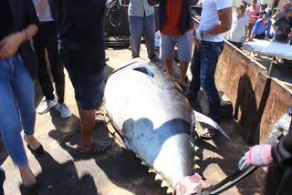 Fishermen catch a nearly 400 kilogram tuna in Central Vietnam
