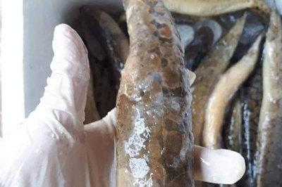 'Sốt xình xịch' chi tiền triệu mua 'thủy quái sông Đà' về ăn