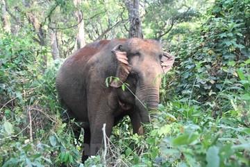 Vietnam struggles to crack down elephant ivory trafficking