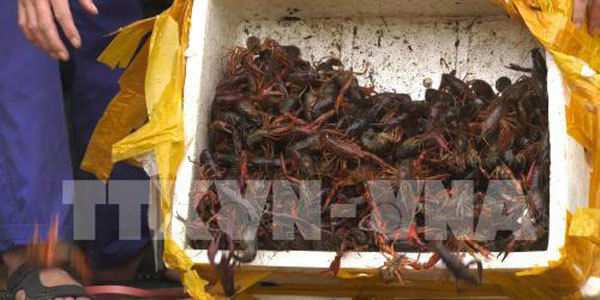 Vietnamese Gov't cracks down on trade and consumption of banned crayfish