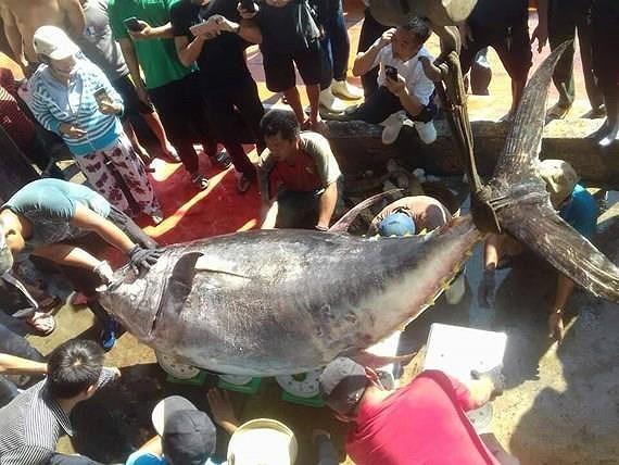 cá ngừ,cá khủng,cá quý hiếm