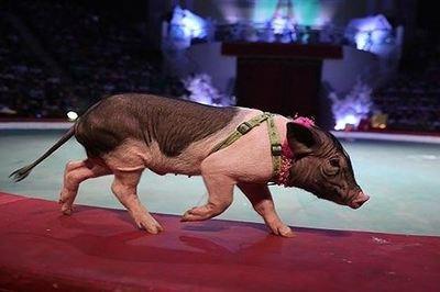 Trâu, mèo sẽ được đưa lên sân khấu xiếc