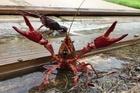 Sinh vật đáng sợ tấn công Việt Nam, bộ lùng diệt, dân vô tư ăn