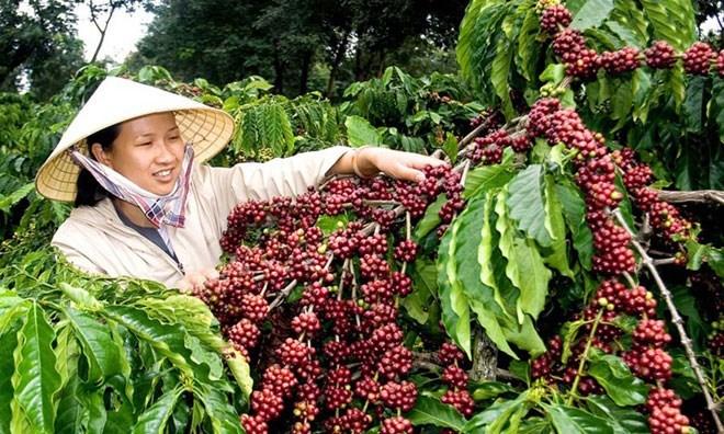 Internal, external factors challenge Vietnam's coffee exports