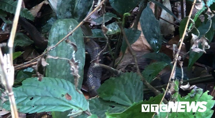 Poisonous snakes flourish on forest in Hoang Lien Son Mountains