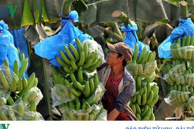 Nông dân Lai Châu lại khó tiêu thụ chuối do quy định từ Trung Quốc