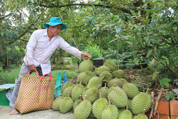 Mekong Delta fruit farmers see bumper harvest, high prices