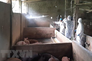 Ha Giang sees first outbreak of African swine fever