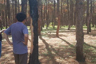 Gia Lai struggles to fight pine forest destruction