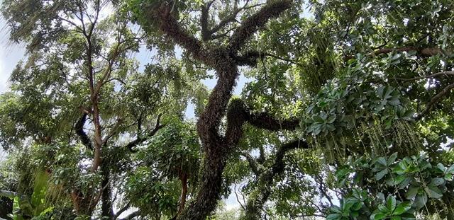 lộc vừng,cây cổ thụ