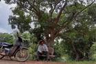 Quảng Bình: Ly kỳ dưới rừng 'báu vật' lộc vừng dáng lạ hơn 400 tuổi