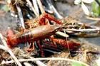 Kinh dị tôm hùm đất: Chặt đứt đôi càng, lập tức tái sinh càng mới