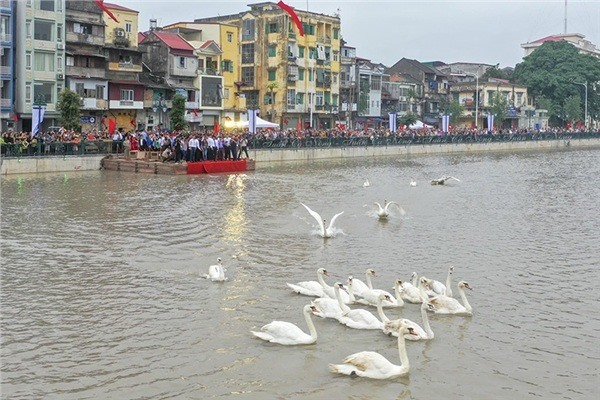 Hai Phong river swan faints due to hot weather