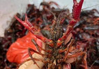 Market watchdog tightens fight against imports of banned crayfish