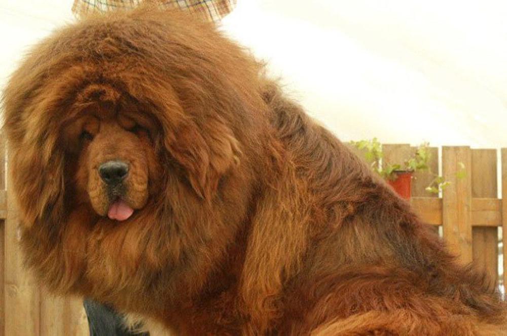 Chó ngao Tây Tạng,Thú cưng