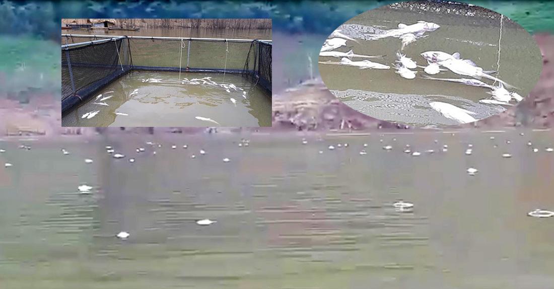 cá chết,thủy điện,Nghệ An